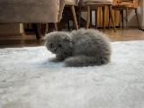 ÜCRETLİ Scottish fold longhair erkek 2 aylık