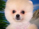 En Uygun Pomeranian Yavrularımız için İletişime Geçiniz