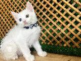 Odd Eye Beyaz British Shorthair Yavrumuz