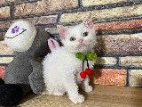 Full White British Shorthair Yavrumuz Olric