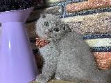 Süper Kalite Lilac Scottish Fold Yavrumuz Chanel