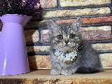 Süper Kalite Blue Tabby British Shorthair Yavrumuz Millie