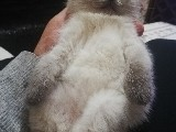 Scottish fold Blue point yavru kedim
