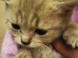 İzmitte 2 aylık british shorthair dişi yavru