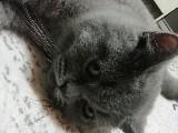 British shorthair yavru kedi eğitimli