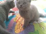 Cins kedi lükstür