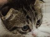 Yavru kırık kulak Kedi