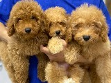 Orijinal ırk garantili toy poodle yavrular