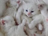 Mavi-Yeşil Gözlü 2 aylık Beyaz British Yavrularımız