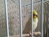 Sultan Papağanı dişi