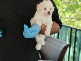 WC EĞİTİMLİ Maltes Terrier Yavruları