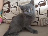 Güzel bir yavruya,güzel bir yuva:) British shorthair.