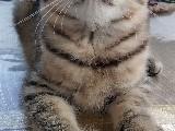 3 aylık erkek scotish straigh