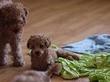 Show Trasli Toy Poodle Yavru