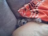 Tatlı maltese terrier yavrusu