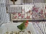Sevda papaganı