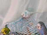 1 i yavru toplam 2 si 9 aylık ,toplam üç muhabbet kuşu ve kafes satılık