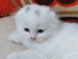 Safkan Beyaz scottish fold ve british yavrular