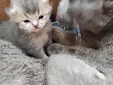 Ankara schottish fold birisith silver kedi