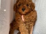 Red Brown erkek toy poodle yavrularımız