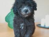 Silver Mini Boy Poodle
