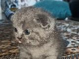 Scottich fold dişi yavru kedi