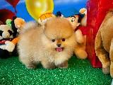 Muhteşem güzellikte Pomeranian Boo yavrumuz