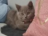 4 Aylık British Shorthair lilac erkek