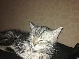 Sahibinden satılık british shorthair kedi