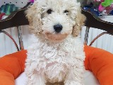 Veteriner teknikerinden minyatür poodle