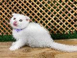 Bal Gözlü Beyaz Scottish Fold (Rollo) Yavrumuz