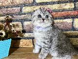 EFSANE Sıfır Kulak Silver Tabby Scottish Fold Yavrumuz Morfie
