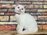 3.5 Aylık Beyaz British Shorthair Yavrumuz