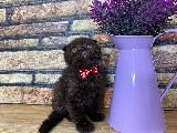 Yakışıklı Red Brown Scottish Fold Oğlumuz Fabian
