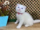 Süper Kalite Mavi Gözlü Beyaz Scottish Fold Yavrumuz Jerry