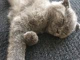 3 aylık Erkek Scottish Fold