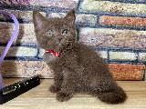 Süper Nadir Kahverengi British Shorthair Yavrumuz Brownie