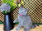 Süper Kalite Blue British Shorthair (Ashley) Kızımız