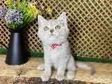 Çocuklarla İyi Anlaşan Light Lilac Tabby British Shorthair Oğlumuz (Cookie)