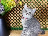Çok Nadir Blue Tabby British Shorthair Yavrumuz Ryder