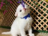 Beyaz Foster Scottish Fold Yavrumuz