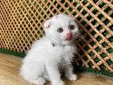 Süper Kalite Beyaz Scottish Fold Yavrumuz Caprice