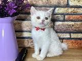 Safkan Beyaz British Shorthair Yavrumuz Chevy