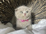 Efsanee Lilac Scottish Fold Yavrumuz Sylvain