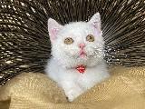 Bal Gözlü Safkan Beyaz British Shorthair Yavrumuz Gizmo