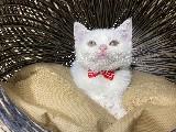 Full Beyaz Safkan British Shorthair Yavrumuz Charlie