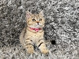 SİMBA – Golden Tabby British Shorthair Yavrumuz