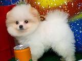 Gülen Surat Pomeranian Boo Kızımız Carmen