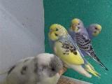 Yavru muhabbet kuşları