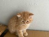 İran kedisi - scottish fold kırması dünya tatlısı